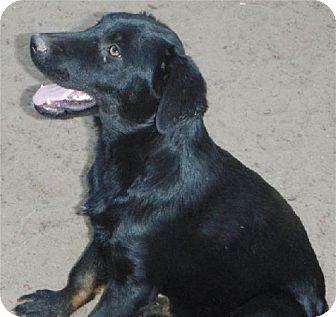Labrador Retriever/Golden Retriever Mix Dog for adoption in San Antonio, Texas - Samson