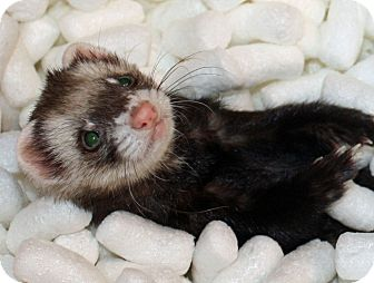 Ferret for adoption in Indianapolis, Indiana - Peekaboo
