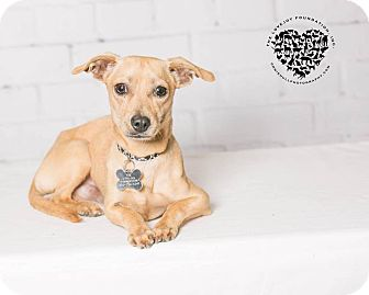 Chihuahua/Terrier (Unknown Type, Small) Mix Dog for adoption in Inglewood, California - Thomas