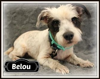Shih Tzu/Standard Schnauzer Mix Dog for adoption in Missouri City, Texas - Belou