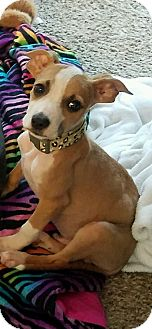 Terrier (Unknown Type, Small) Mix Puppy for adoption in Columbus, Ohio - Chase
