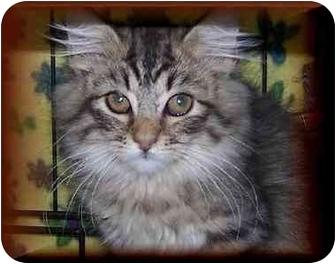 Domestic Longhair Kitten for adoption in Yorba Linda, California - Beau