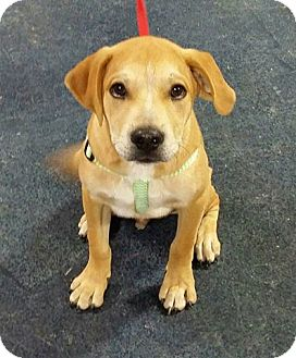 Labrador Retriever/Great Pyrenees Mix Puppy for adoption in Snyder, Texas - Rigby