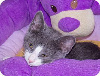 Domestic Shorthair Kitten for adoption in Elmwood Park, New Jersey - Sammy