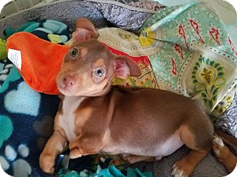 Chihuahua Mix Puppy for adoption in San Antonio, Texas - Pancho