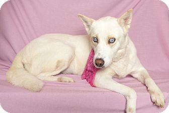 Husky Dog for adoption in Kerrville, Texas - Gracie