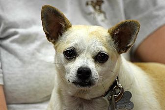 Chihuahua Mix Dog for adoption in Memphis, Tennessee - Love Bug