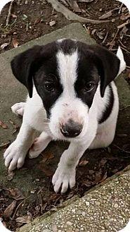 Labrador Retriever/Hound (Unknown Type) Mix Puppy for adoption in Brunswick, Maine - Dottie