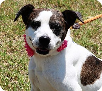 Catahoula Leopard Dog/Australian Cattle Dog Mix Dog for adoption in Pluckemin, New Jersey - Claire