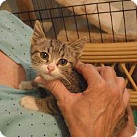 Domestic Shorthair Kitten for adoption in Quail Valley, California - Shia