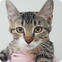 Adopt A Pet :: Sherbert - Hawk Point, MO