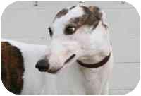 Greyhound Dog for adoption in Columbus, Ohio - Missy