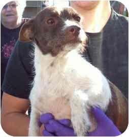 Chihuahua/Dachshund Mix Dog for adoption in tucson, Arizona - NoMo