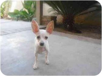 Chihuahua Puppy for adoption in Brea, California - Rabbit