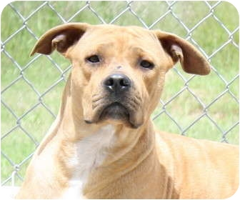 Pit Bull Terrier Mix Dog for adoption in Jerome, Idaho - 4596