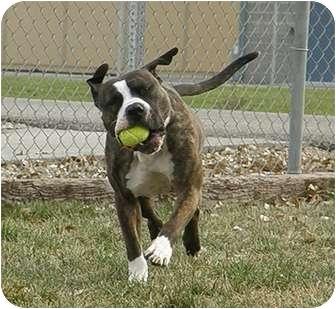 American Staffordshire Terrier/American Bulldog Mix Dog for adoption in Meridian, Idaho - Max