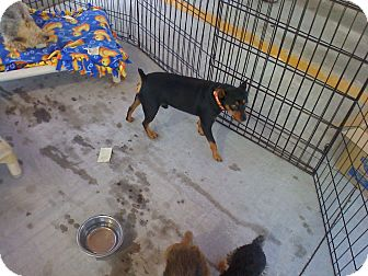Miniature Pinscher Dog for adoption in Carnegie, Oklahoma - Zack