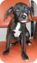 Labrador Retriever/Border Collie Mix Puppy for adoption in Avon, New York - Darlene