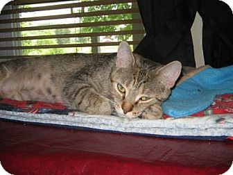Domestic Shorthair Cat for adoption in Norwich, New York - Sandie