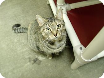 Domestic Shorthair Cat for adoption in Springfield, Illinois - Kate