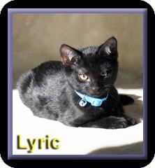 Domestic Shorthair Kitten for adoption in Aldie, Virginia - Lyric