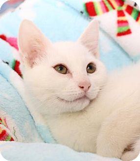 Domestic Shorthair Cat for adoption in Winston-Salem, North Carolina - BJ