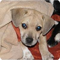 Adopt A Pet :: PAULA the PUGGLE - Brooksville, FL
