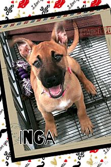 Black Mouth Cur Mix Puppy for adoption in Apache Junction, Arizona - Inga