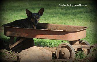 Dachshund/Chihuahua Mix Dog for adoption in Greenville, South Carolina - Bambi