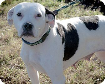Pit Bull Terrier Mix Dog for adoption in Gainesville, Florida - Poppy
