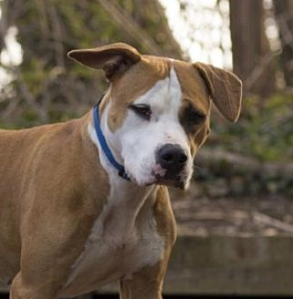 American Pit Bull Terrier/Boxer Mix Dog for adoption in Port Washington, New York - Emma