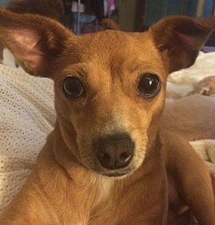 Dachshund/Chihuahua Mix Dog for adoption in West Columbia, South Carolina - Dolly