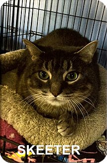 Domestic Shorthair Cat for adoption in Medway, Massachusetts - Skeeter