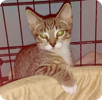 Domestic Shorthair Cat for adoption in Brooklyn, New York - Rocco