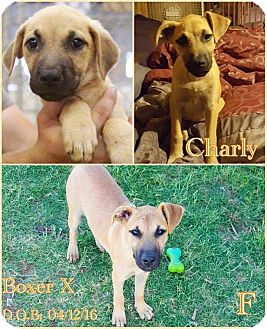 Boxer Mix Puppy for adoption in DeForest, Wisconsin - Charly