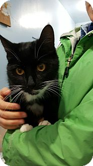 Domestic Shorthair Cat for adoption in Port Coquitlam, British Columbia - Mouse