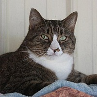 Domestic Shorthair Cat for adoption in New Bern, North Carolina - Mark