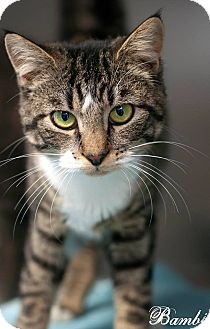 Domestic Shorthair Cat for adoption in Manahawkin, New Jersey - Bambi