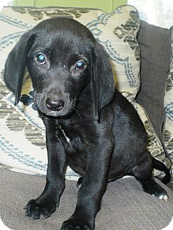 Beagle/Labrador Retriever Mix Puppy for adoption in Eastpoint, Florida - Fabian