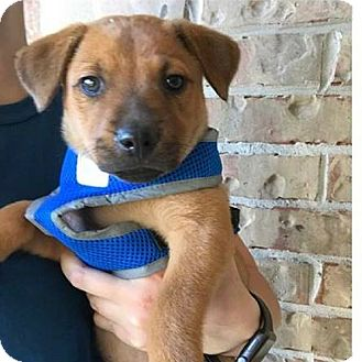 Labrador Retriever Mix Puppy for adoption in Fort Atkinson, Wisconsin - Vitto