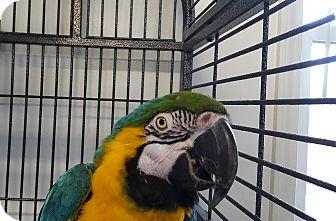 Macaw for adoption in Grandview, Missouri - Mr. Bojangles