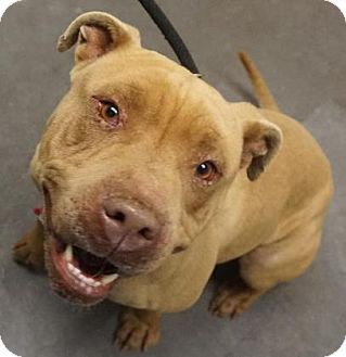 Pit Bull Terrier/Mixed Breed (Large) Mix Dog for adoption in Farmington, New Mexico - Oliver