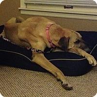 Adopt A Pet :: Nikko - St. Louis, MO