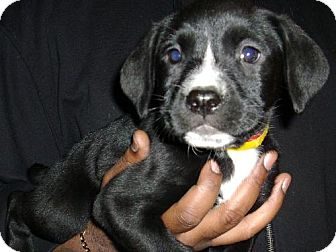 Labrador Retriever Mix Puppy for adoption in PRINCETON, Kentucky - April pup #7