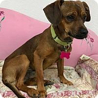 Adopt A Pet :: Pickett - Las Vegas, NV