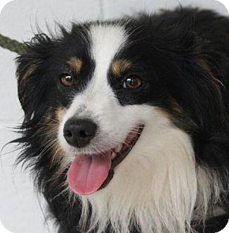 Australian Shepherd Mix Dog for adoption in Spring Valley, New York - Loki