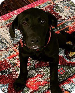 Labrador Retriever Mix Puppy for adoption in Nyack, New York - Rosie