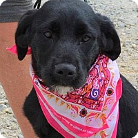 Labrador Retriever/Terrier (Unknown Type, Medium) Mix Puppy for adoption in Southbury, Connecticut - Dolly