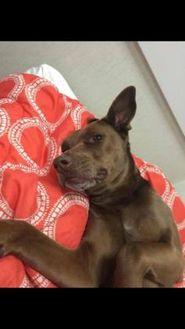 Labrador Retriever Mix Dog for adoption in Greensboro, North Carolina - Available BUDDY