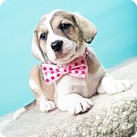 Adopt A Pet :: Creamsicle - Houston, TX